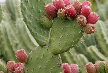 کاکتوس تنها گیاهی که تشعشعات گوشی های همراه را به خود جذب می کند!